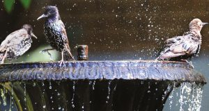 Starlings in bird bath image