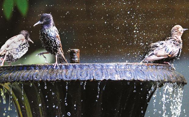 Starlings in bird bath image