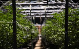 Cannabis farm image