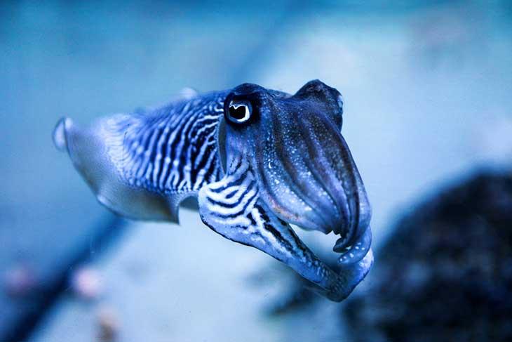 Orla Shields Cuttlefish image