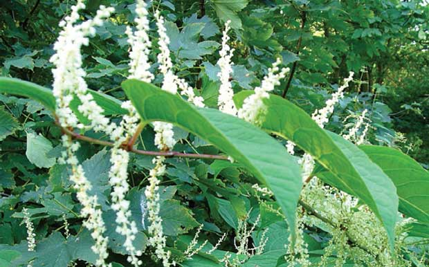Japanese Knotweed image